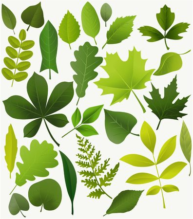 Illustration for Set of popular tree leaves - Royalty Free Image