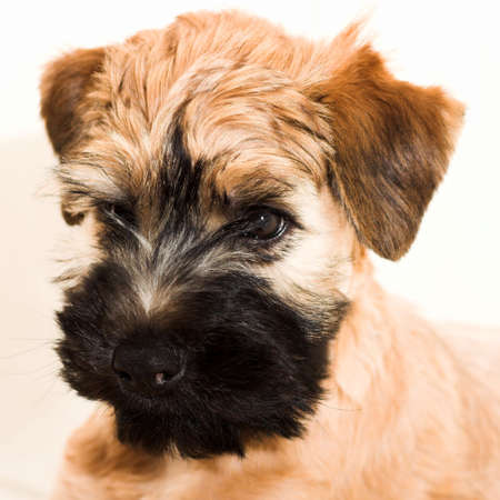 Irish Soft Coated Wheaten Terrier Small