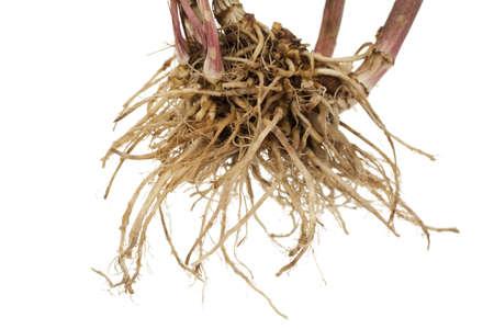 whole fresh root valerian on white background