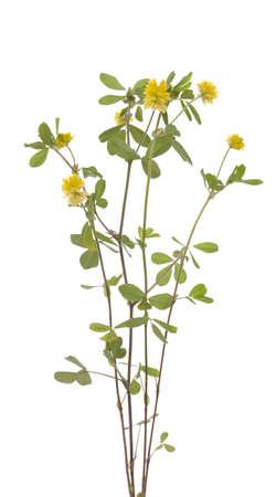yellow little clover (Trifolium campestre Schreb)  on white
