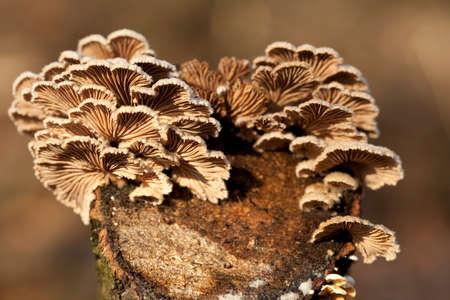 little mushrooms group (Schizophyllum commune) from below