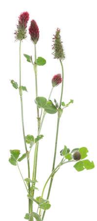 Crimson clover (Trifolium incarnatum) on white background