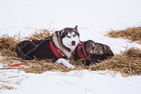 Beautiful alaska husky dogs resting during a sled dog race. Long distance sled dog race in Norway.