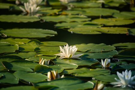 Photo pour A beautiful light pink water lilies growing in a natural pond. Colorful summer scenery with water flowers. - image libre de droit