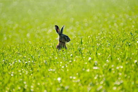 Wild hare in the green field. back view