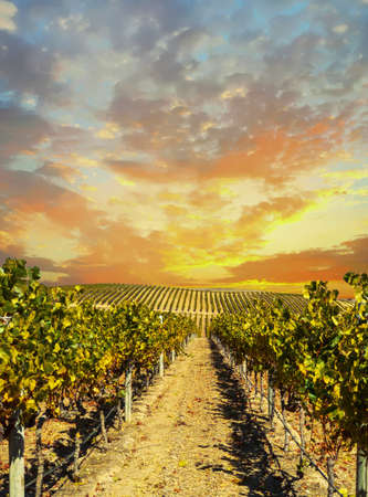 Photo pour Vineyard landscape at Napa valley at sunset - image libre de droit