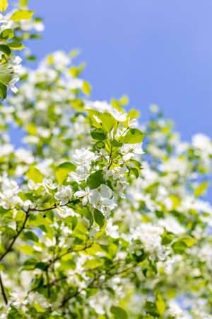 Apple tree flowers on sunny spring day.