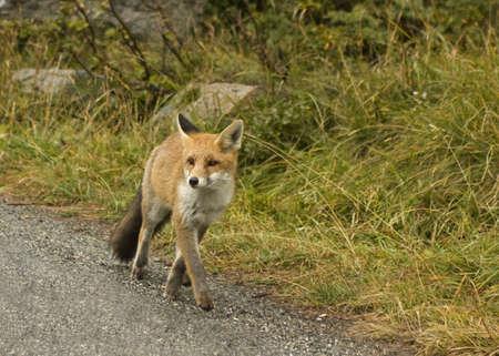 Foto per Fox - Immagine Royalty Free