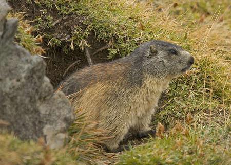 Foto per Marmotta - Immagine Royalty Free