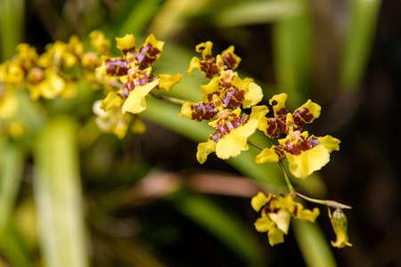 Oncidium sphacelatum orchid
