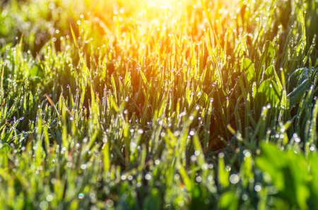 Foto de Grass with dew drops glistens in the sun. Natural composition - Imagen libre de derechos