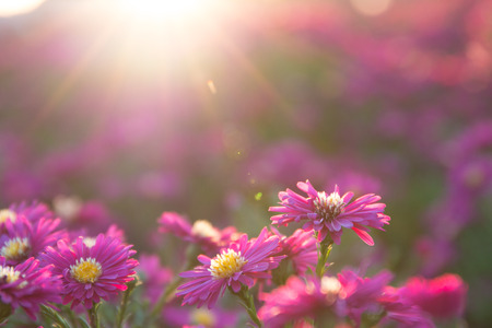 Photo for pink daisy - Royalty Free Image