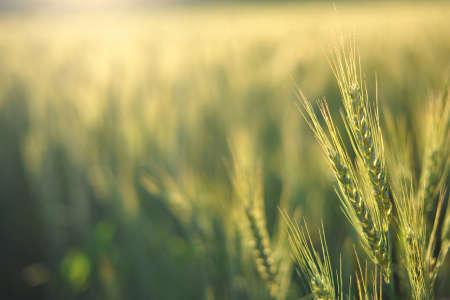 Slowly the sun heats the ears of wheat