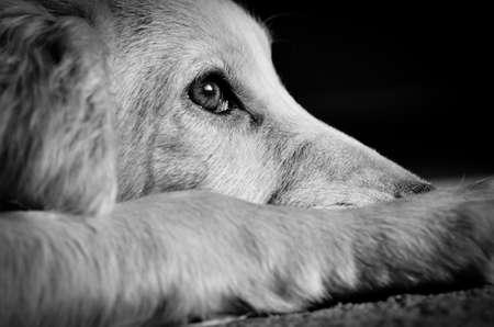 Photo pour Cocker spaniel pup looking very sad - image libre de droit