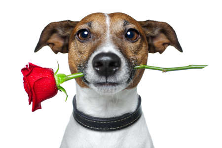 dog with a red rose の写真素材