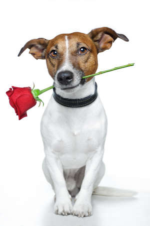 dog with a red rose