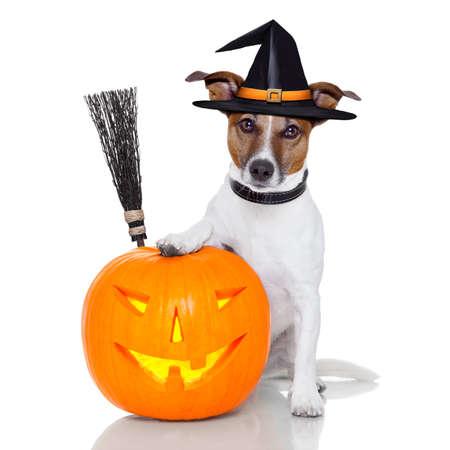 Photo pour halloween pumpkin witch dog with a broom - image libre de droit