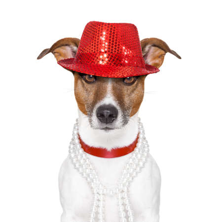 funny and crazy looking dog with fancy red hat and  big  perls collar