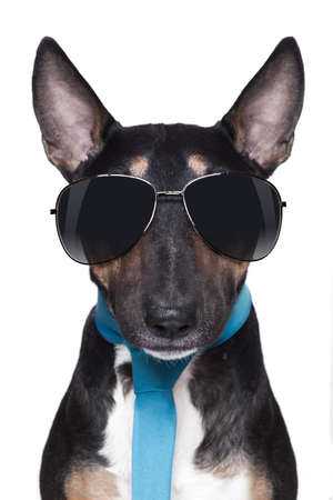 bull Terrier dog with sunglasses and blue tie