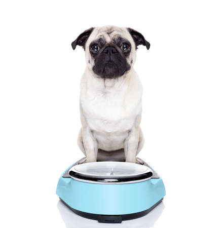 fat pug dog on a scale not happy about it