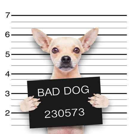 Photo pour funny cute pug holding a placard while a mugshot is taken - image libre de droit