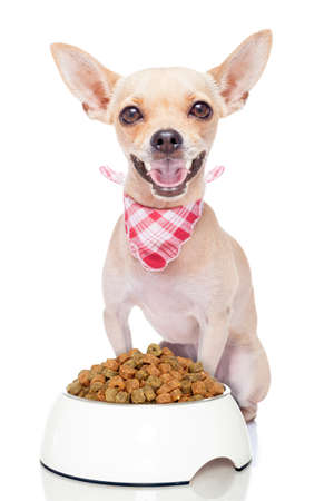 hungry chihuahua dog with a food bowl , isolated on white background
