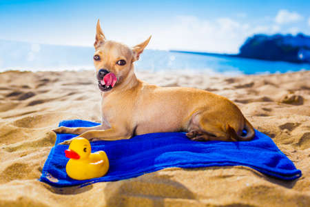 Chihuahua Dog At The Ocean S Beach