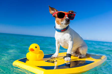 Photo pour dog surfing on a surfboard wearing sunglasses with a yellow plastic rubber duck, at the ocean shore - image libre de droit
