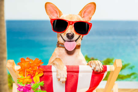 Photo pour chihuahua dog at the beach having a a relaxing time on a hammock while sun tanning - image libre de droit