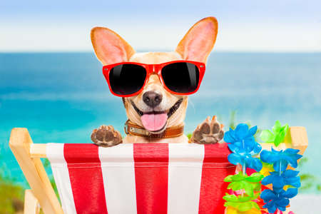 Foto per chihuahua dog at the beach having a a relaxing time on a hammock while sun tanning - Immagine Royalty Free