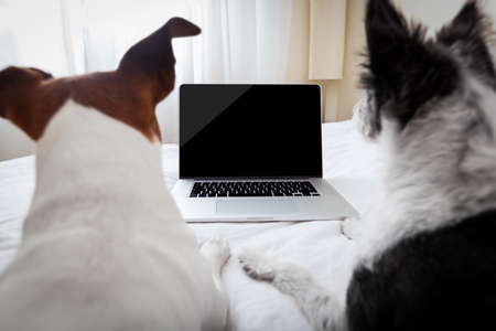 Photo pour couple of dogs surfing or browsing the internet using a laptop computer pc, both looking into the screen - image libre de droit