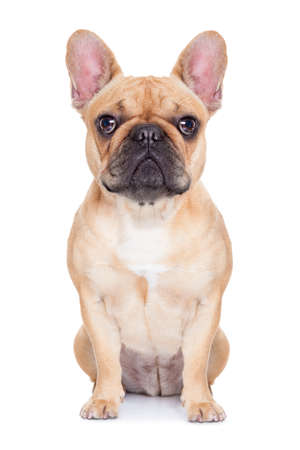 fawn french bulldog sitting and resting on white isolated backgroung