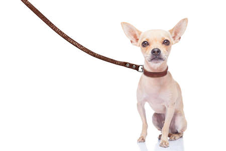 chihuahua dog ready for a walk with owner , with leather leash, isolated on white background