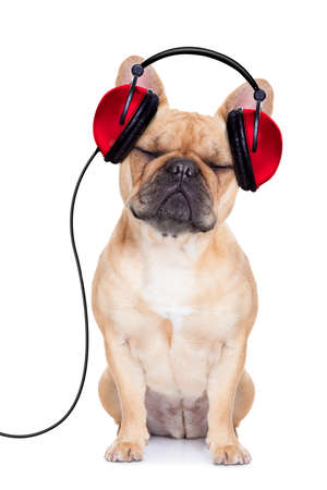 Photo pour french bulldog dog listening music, while relaxing and enjoying the sound , isolated on white background - image libre de droit
