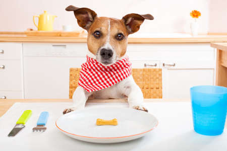 jack russell dog sitting at table ready to eat a an almost empty plate as a diet light meal, tablecloths included