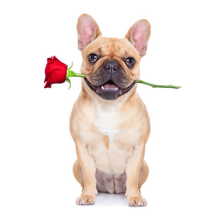 Foto de valentines dog in love with you ,  with a red rose in mouth , isolated on white background, - Imagen libre de derechos
