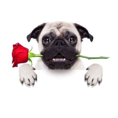 Photo pour valentines dog in love with you ,  with a red rose in mouth , isolated on white background,behind banner - image libre de droit