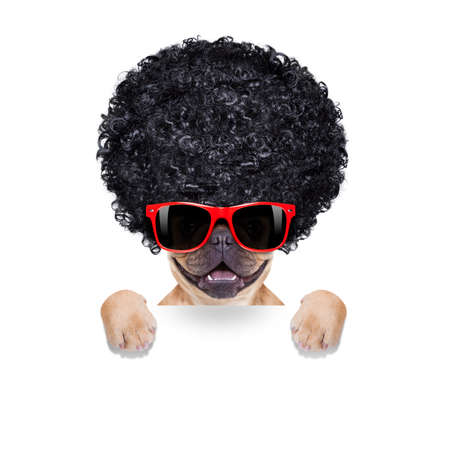 cool french bulldog with sunglasses wearing a black afro look curly wig , smiling at you, isolated on white background