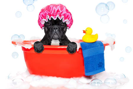 french bulldog dog in a bathtub not so amused about that , with yellow plastic duck and towel, covered in foam , isolated on white background, wearing a bathing cap