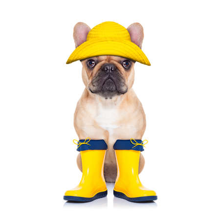 Photo pour fawn french bulldog sitting and waiting to go for a walk with owner wearing rain boots, isolated on white background - image libre de droit
