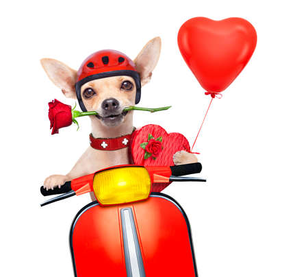 Photo pour valentines chihuahua dog with rose in mouth driving a motorbike vespa roller - image libre de droit