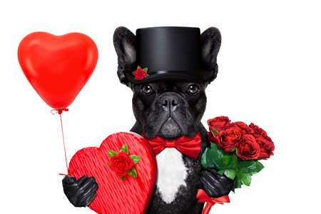 Photo for valentines french bulldog dog , holding a present of pralines , bunch of red roses and a balloon, isolated on white background - Royalty Free Image