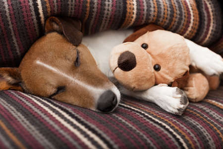 Photo pour jack russell terrier dog under the blanket in bed , having a siesta and relaxing with best friend teddy bear - image libre de droit