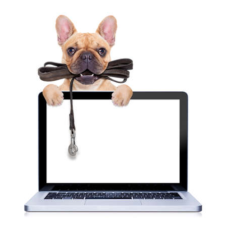 fawn french bulldog with leather leash ready for a walk with owner,behind a laptop pc computer screen ,  isolated on  white isolated backgroundの写真素材