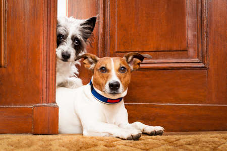 couple of dogs watching at the door at home , on the doormat