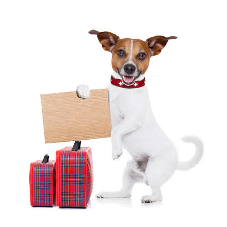 hitchhiker jack russell dog  waiting for a car for a  pickup, holding a cardboard with luggage, isolated on white background