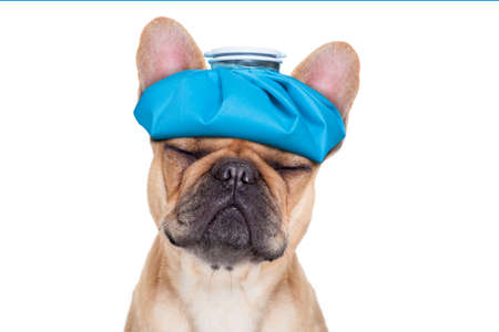 french bulldog dog  with  headache and hangover with ice bag or ice pack on head eyes closed suffering  isolated on white background