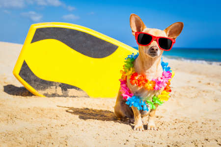 chihuahua dog  at the beach with a surfboard wearing sunglasses and flower chain on summer vacation holidays  at the beach