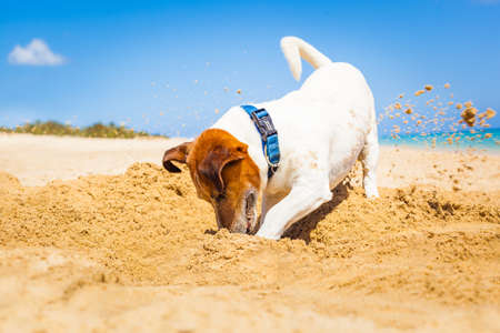 jack russell dog digging a hole in the sand at the beach on summer holiday vacation, ocean shore behind