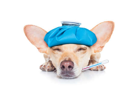 chihuahua dog with  headache and hangover with ice bag or ice pack on head,thermometer in mouth with high fever, eyes closed suffering , isolated on white background